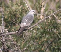 Mississippi Kite, Cottonwood Canyon CO, June 2005