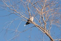 Eurasian Collared-Dove, Jan 5, 2005, Fort Collins
