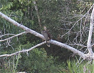 Hoatzin, May 19 2005, Otorongo Lake, Manu National Park, Peru