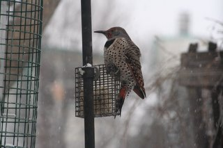 Northern Flicker, Dec 6, 2005