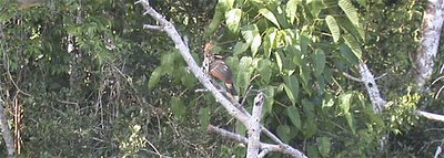 Hoatzin (2), May 19, 2005, Otorongo Lake, Manu National Park, Peru