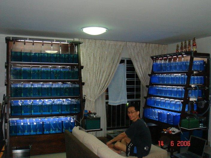 Guppy Fish Room Jabra S Fancy Guppies Update On My Fish