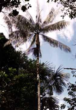 Açaí palm tree