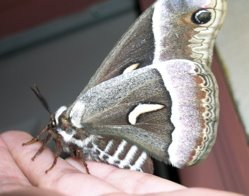 A Ceanothus Silkmoth resting on my hand