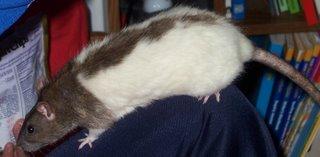 Jules the faithful rat