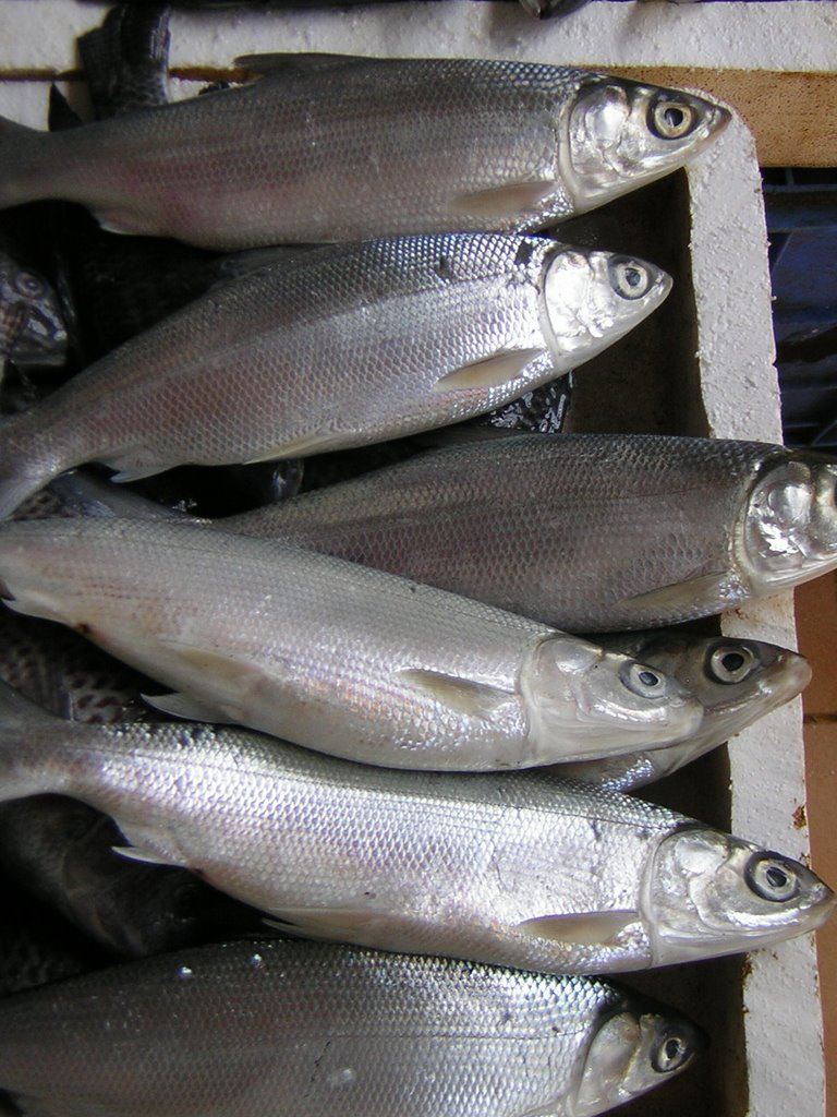 feasibility study about bangus raising Milkfish (bangus) floating cage culture project in dauis, bohol philippines - free download as word doc the culture of bangus in marine fish cage is more profitable than when it is cultured in pen project feasibility study kol.