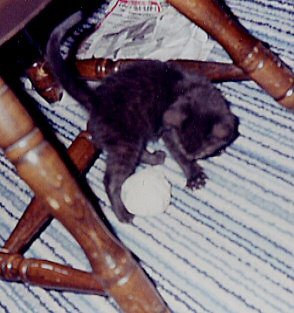 Baby Rascal, wondering what to do with this big ball.
