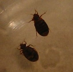 Close up of the bed bugs captured in a glass