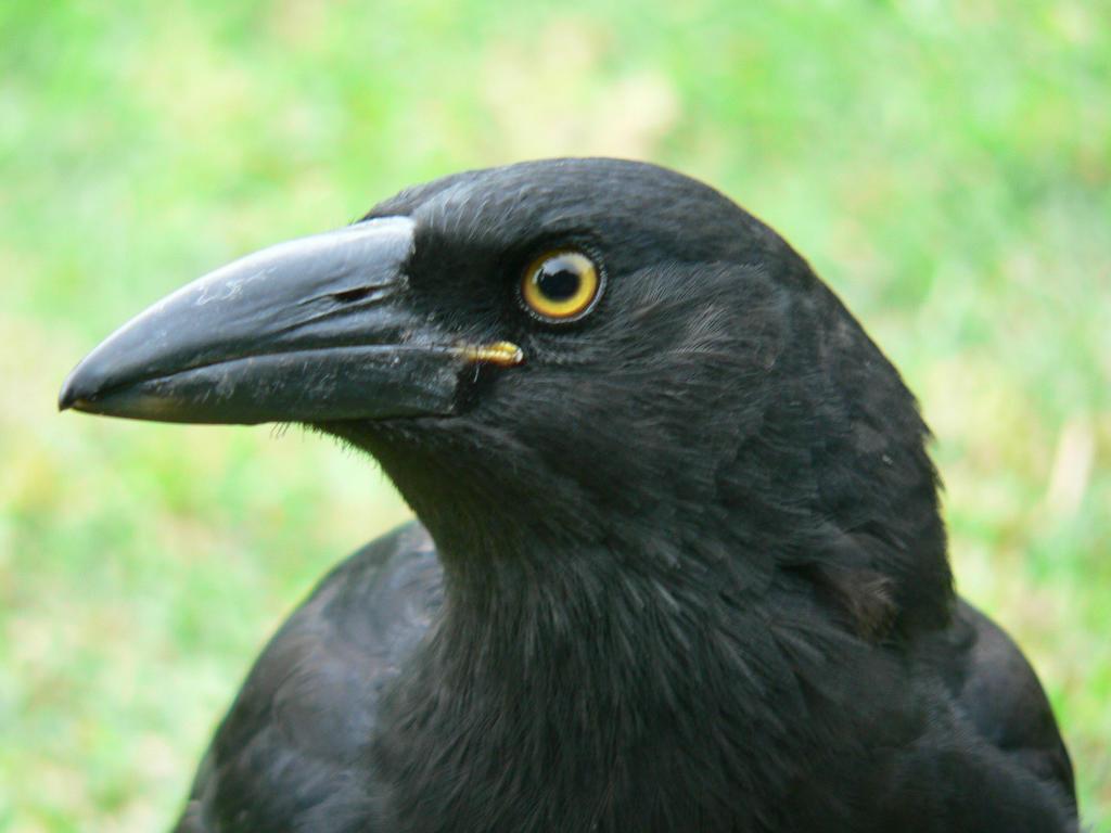 Клюв ворона для мальчика