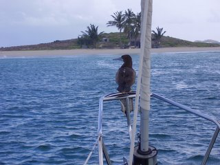 Kika attracting the birds