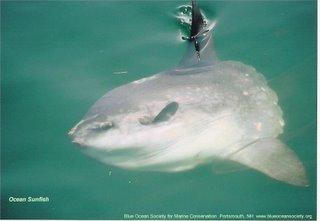 A sunfish