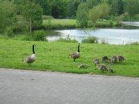 eine Familie Kanadagänse
