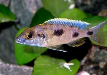Картинки по запросу Placidochromis nigribarbis