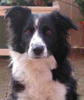 Black and white border collie, Mitzi