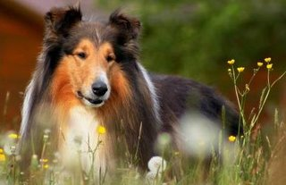 Peaceful collie with a major buzz