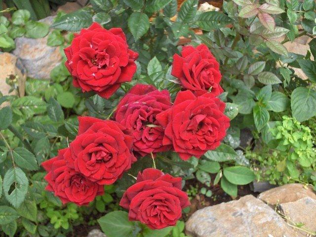 jardim rosas vermelhas: de rosas todas juntinhas quase escondidas sob as rosas pérola