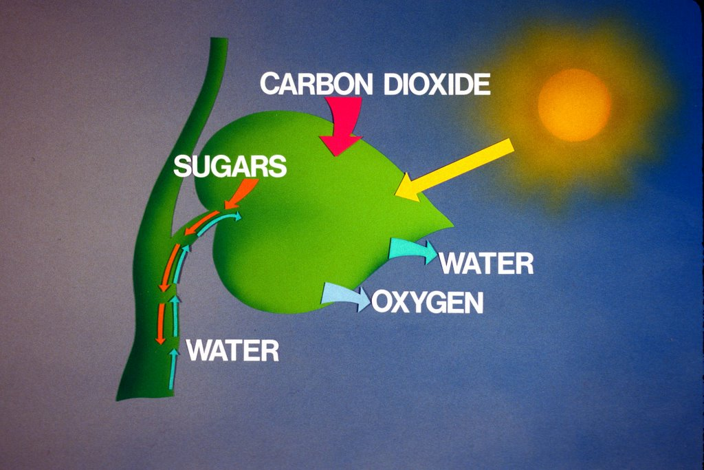 biology coursework photosynthesis Example biology coursework - full sample coursework covering the basic mechanisms of homeostasis including full bibliography.