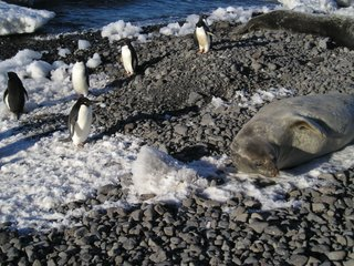 Adelie Penguins and Weddell Seal