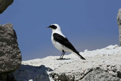 Black-eared Wheatear (pale-throated Eastern race, male)