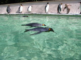 penguins standing and swimming