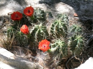 Cactus flowers in bloom on McKittrick Ridge