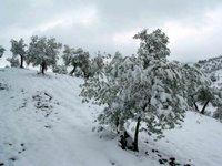 Olivos jóvenes cargados de nieve