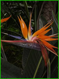 bird-of-paradise
