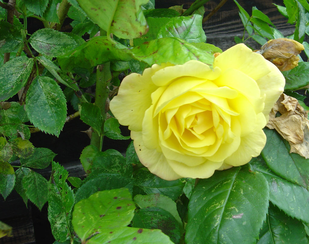 Yellow roses meaning jealousy