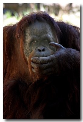 Thoughtful Orangutan 2