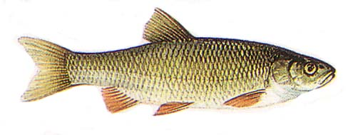poissons d 39 eau douce le chevaine un poisson d eau douce a grandes ecailles. Black Bedroom Furniture Sets. Home Design Ideas