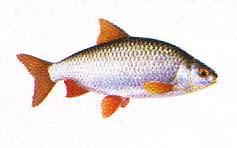 Poissons d 39 eau douce le gardon un poisson d eau douce ressemblant aux rotengles - Peche du poisson chat au coup ...