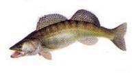 recette pour poisson sandre, comment pecher le sandre, leurre sandre, brochet, black bass