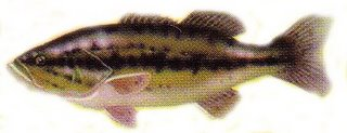 black bass, record black bass, achigan