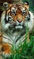 Sumatran Tiger (photo)