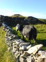 131_Cow@Inishowen