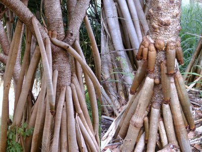 Here's one for the girls....bet you didn't know they grew on trees!! We found a couple of excellent examples of the local Wanga Tree