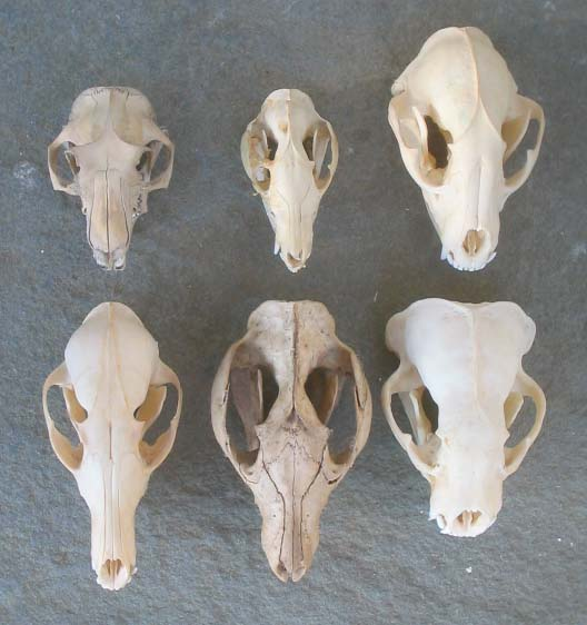 Top row left to right normal groundhog normal possum large boar