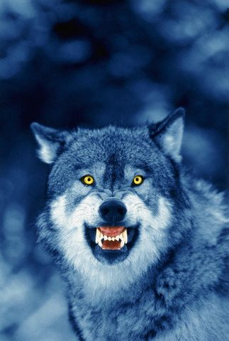 Wolves and Men in America Vicious