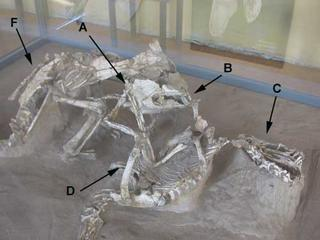 Protocertatops and Velociraptor Skeletons Fighting Photo