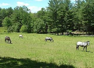the appaloosas who graze in our neighbourhood