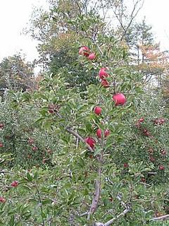 apples ripe for the picking