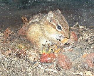 Chip eating a beechnut