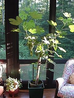 the cherished fig tree