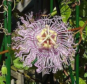 passiflora incarnata aka passion flower aka maypop