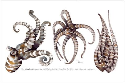 Mimic Octopus Swimming Mimic Octopus