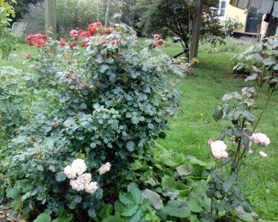 brumleby roses