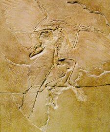 Archaeopteryx retained many dinosaurian characters which are not found in modern birds, whilst having certain characters found in birds but not in dinosaurs.