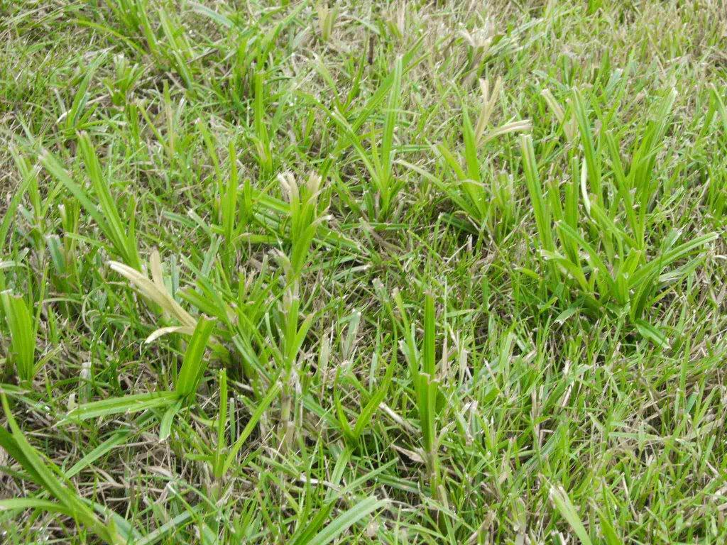 Max vreemd gras - Identifier mauvaise herbe gazon ...