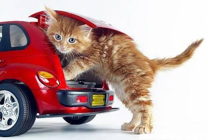 Funny cat car