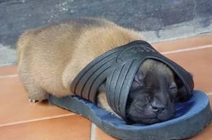 Puppy Shoe